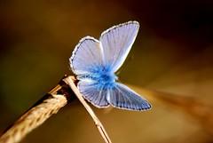 Vuelan mariposas... (dagherrotipista) Tags: mariposa farfalla butterfly macro azul blue azzurro nikond60 macrophotography