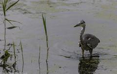 9Q6A1635 (2) (Alinbidford) Tags: alancurtis alinbidford brandonmarsh greyheron nature wildbirds