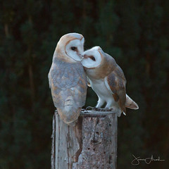 2 Barn Owlets kissing (j.arnold32) Tags: barn owl kissing