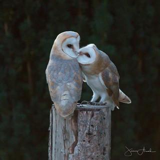 2 Barn Owlets kissing