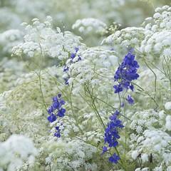 Marée blanche * (Titole) Tags: queenanneslace pieddalouette delphinium blue white titole nicolefaton