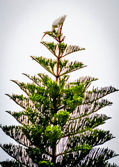 Ibis in top of evergreen tree in Seminole Florida. (dmg_rockroach) Tags: ibis florida pine tree canon7d 7d canon eos bird wildlife evergreen seminole tamron