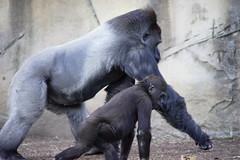 Walk this way (Bl.Mtns.Grandma) Tags: gorilla tarongazoo sydney australia
