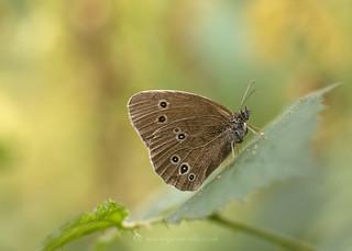 Ringlet Butterfly 22nd July