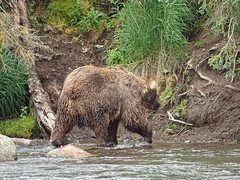 DSC07528 (jrucker94) Tags: alaska katmai katmainationalpark nationalpark bear bears grizzly grizzlybear brooksriver nature outdoors