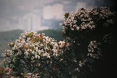 (a.pierre4840) Tags: olympus om2n zuiko 135mm f28 35mmfilm fujisuperia400 dof depthoffield flowers hongkong grainyfilm grain grainy