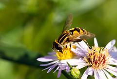 Hoverfly (Antti Tassberg) Tags: bokeh hyönteinen macro negativespace kasvi kesä kukka kukkakärpänen 100mm bug flower hoverfly insect lens plant prime syrphidae