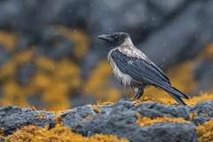 Hooded crow (cliveyjones) Tags: hoodedcrow crow mull