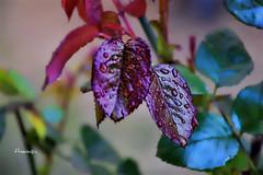 Hojitas nuevas (Anavicor) Tags: rosal rosebush hoja leaf leaves gota drop garden jardín macro plant planta feuille lluvia rain anavicor anavillar villarcorreroana nikon d5300 tamron sencillez