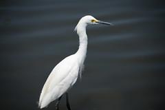 610_3263 (rskim119) Tags: irvine san joaquin wildlife sanctuary refuge nikon d610 28300 bird animal nature snowy great egret