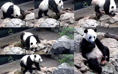 Bei Bei (This water pool look and smell bad. This one's good. Yup hits the spot, now on to more boo.) 2018-07-28 at 11.20.52–.22.54 AM (MyFoto:)) Tags: ccncby panda cub endangered vulnerable beibei smithsonian nationalzoo climbing drinking eating bamboo water
