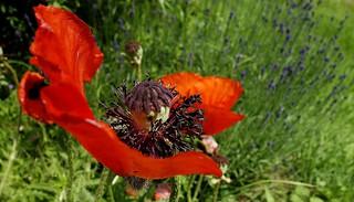 Mohnblumen, immer ein Bild wert,  76398/10402