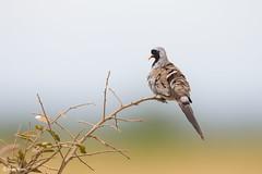 The Namaqua dove (Oena capensis) (surferjaws) Tags: birding birdsphotography bird birds birdwatcher aves africa kenya amboselinationalpark pigeon