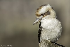 Laughing kookaburra (Jims Wildlife) Tags: dacelonovaeguineae laughingkookaburra bird australia