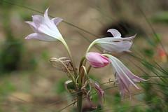 IMG_8540 (Usagi93190) Tags: macro proxi flower nature outdoors botanical gardens naples florida