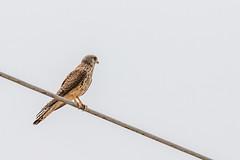 Faucon crécerelle (Falco tinnunculus) (aurelien.ebel) Tags: alsace animal aves basrhin birds commonkestrel falcotinnunculus falconidae falconidés falconiformes fauconcrécerelle france lawantzenau oiseau