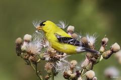 American Goldfinch / Chardonneret jaune (shimmer5641) Tags: spinustristis americangoldfinch chardonneretjaune jilgueroyanqui fringillidaefamily finch birdsofbritishcolumbia birdsofnorthamerica