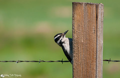 Hairy Woodpecker at Hutton Lake National Wildlife Refuge, Wyoming (Melanie Olds) Tags: bird hairywoodpecker nationalwildliferefuge huttonlakenationalwildliferefuge laramieplains wyoming