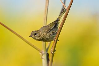 Common yellowthroat warbler, immature