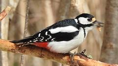 Great Spotted Woodpecker ♀ (Dendrocopos major) (eerokiuru) Tags: greatspottedwoodpecker gsw dendrocoposmajor buntspecht suurkirjurähn woodpecker p900 nikoncoolpixp900