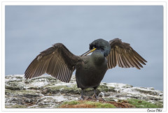 Balade écossaise : la toilette du Cormoran huppé. (C. OTTIE et J-Y KERMORVANT) Tags: nature animaux oiseaux cormoran cormoranhuppé lunga mull ecosse