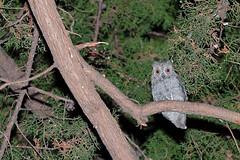 Owl #1 (Franco Gavioli) Tags: 2018 fragavio francesco gavioli canoneos600d canonef100mmf28macrousm yongnuoyn568exiiettl augusta sicilia sicily owl gufo assiolo chiù otusscops