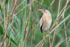 Little Bittern (CJH Natural) Tags: littlebittern zwergdommel ixobrychusminutus bittern perch reeds bird vögel wildlife nature