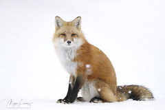 The Old Man (Megan Lorenz) Tags: redfox fox animal mammal nature wild wildlife wildanimals snow winter ontario canada mlorenz meganlorenz