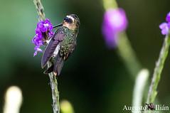 DSC_7339.jpg (Augusto Ilian G) Tags: colibrípechipunteado adelomyiamelanogenys speckledhummingbird