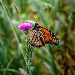 Goin' Nowhere (Portraying Life, LLC) Tags: dbg6 da20028 k1mkii michigan pentax ricoh unitedstates butterfly closecrop handheld nativelighting meadow thistle damagedwing
