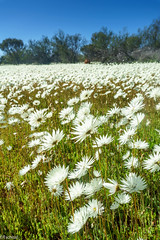 wild flower season in WA - how it could look like (Tschissl) Tags: australia pflanzen wa flowers fieldtrip blumen feld