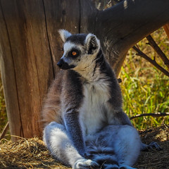 """""""Thats Ok... I will just sit here in the shade you can stay out there in the sun...."""" (Ian Johnston LRPS) Tags: newchurch england unitedkingdom gb amazon world lemur tree shade sunshine outside fur hot ring tail"""