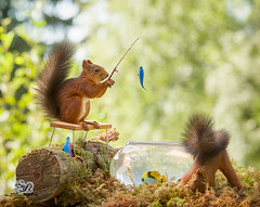 red squirrels with an fish on a fishing bowl (Geert Weggen) Tags: squirrel humor animal tightropewalking clothesline stunt umbrella circus laundry photography rope wire concepts red rodent sweden balance care celebration cheerful closeup colorimage conceptstopics cute cycle engine horizontal lifestyles loveemotion mammal modeoftransport nature outdoors slackwire vacations wallpaperdecor tivoli tent act trapeze artist fish bowl rod catch bench bispgården jämtland geertweggen geert weggen ragunda hardeko
