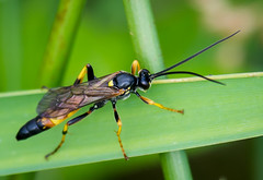 Ichneumon stramentor wasp - male (1 of 12) (ianrobertcole1971) Tags: ichneumon stramentor wasp insect invertebrate nikon