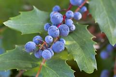 Oregon Grape Holly (s.d.sea) Tags: berry oregon grape holly macro blue nature summer plant grow pnw pacificnorthwest washington washingtonstate green garden pentax k5iis