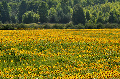 field (greenelent) Tags: sunflowers field country nature yellow flower michigan mi leelanaucounty 365 photoaday puremichigan