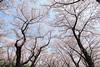 桜の天井 (* Yumi *) Tags: 桜 sakura tree 昭和記念公園