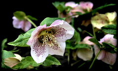 Hellebore (* RICHARD M (Over 7 MILLION VIEWS)) Tags: hellebore hellebores helleborus helleboreae ranunculoideae flowers flora plants nature petals sepal nectaries heskethpark southport sefton merseyside april spring springtime
