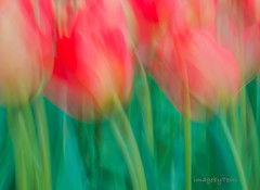 tulips in the wind (imagebyTerri) Tags: abstract icm blur motionblur flowers tulips pink green complimentarycolor canon imagebyterri