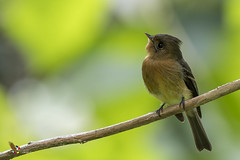 Tufted Flycatcher (fernaabs) Tags: tufted flycatcher mitrephanes phaeocercus mosquerito moñudo passeriformes tyrannidae aves fernaabs burgalin avesdecostarica