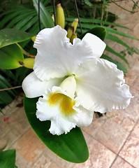 "Cattleya ""Bow Bells"" (Ligia M Lo Re) Tags: cattleya bowbells mygarden iloveorchids flor fiori fiore fleurs orchids canon5dmarkiii naturaleza nature natureza orkide brazilianorchid flowers orquidófilos orquidário orchidée orchidacae orquideas"