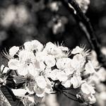 White cherry blossom - Black and White thumbnail