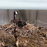 Canada Goose thumbnail