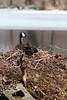 Canada Goose (U.S. Fish and Wildlife Service - Midwest Region) Tags: nature wildlife minnesota mn april 2018 spring stpaul saintpaul fortsnelling statepark nesting nest canadagoose canadageese urban geese goose bird birds birding waterfowl animal animals ice