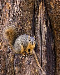 Poser (daveanderson14) Tags: nature wildlife squirrel nikond610