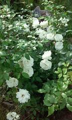 White roses (Palusalu) Tags: roses whitegarden