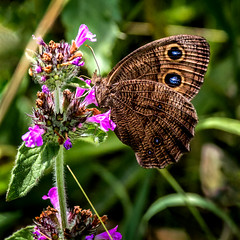 Reach for Purple (Portraying Life, LLC) Tags: dbg6 da3004 hd14tc k1mkii michigan pentax ricoh unitedstates butterfly closecrop handheld nativelighting wildflower meadow matthaeibotanicalgarden