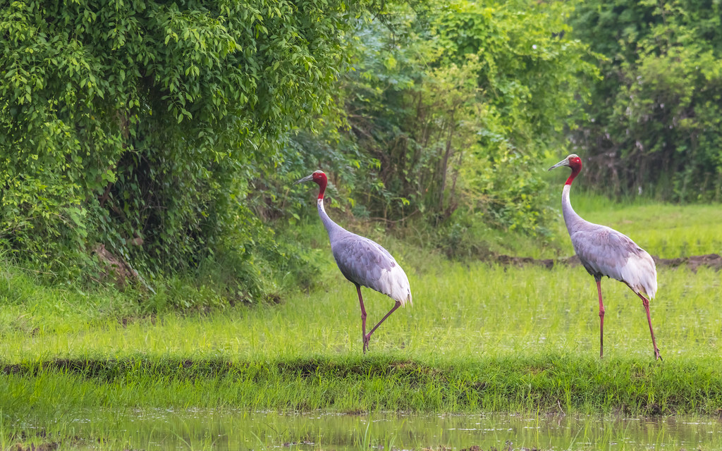 The World's Best Photos of crane and saruscrane - Flickr