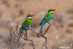 Swallow-tailed bee-eater (about-nature) Tags: afrika südafrika ktp kgalagaditransfrontiernationalpark kgalagadi wüste tiere vögel vogel rackenvogel bienenfresser schwalbenschwanzspint paar grün bunt farbig africa southafrica kgalagaditransfrontiernationalparc kalahari desert animal bird birds swallowtailedbeeeater beeeater green colorful mhirundineus merops meropshirundineus savannah subsaharan couple canon canon7d canonphotography