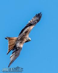 Red kite-Milvus milvus-0004 (George Vittman) Tags: bird raptor kite uk harewood nikonpassion wildlifephotography jav61photography jav61